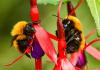 Lebah Liar